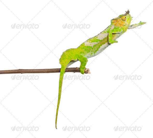 Four-horned Chameleon - Stock Photo - Images