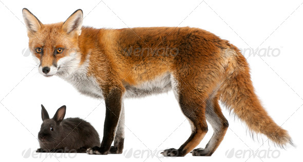 Red Fox, Vulpes vulpes, 4 years old, playing with a rabbit in front of white background - Stock Photo - Images