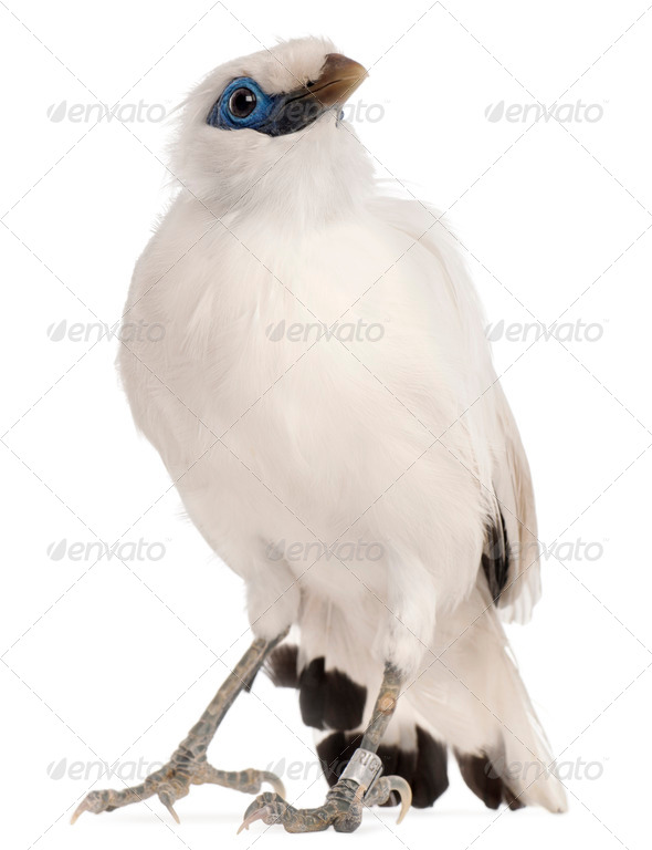 Rothschild's Swift, Cypseloides rothschildi, 5 years old, in front of white background - Stock Photo - Images