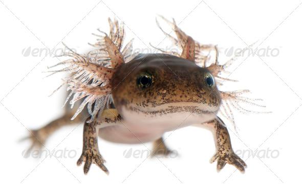 Close-up of Fire salamander larva - Stock Photo - Images