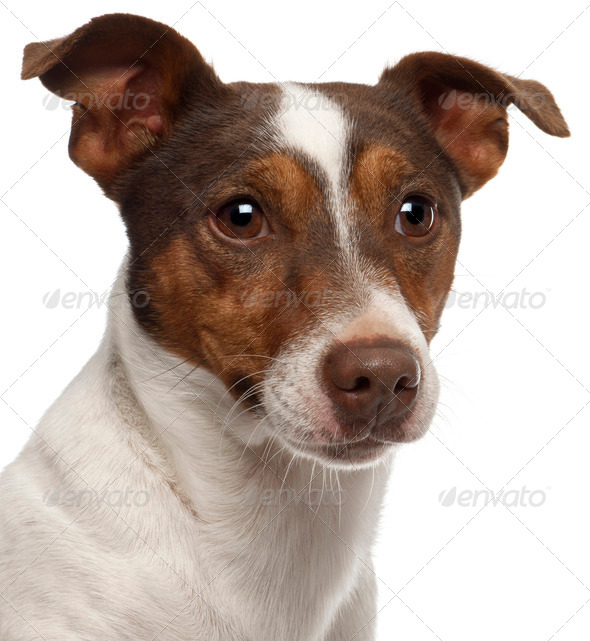 Close-up of Jack Russell Terrier, 3 years old, in front of white background - Stock Photo - Images