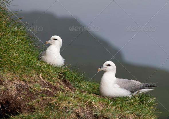 Seagulls on Mykines, Faroe Islands - Stock Photo - Images