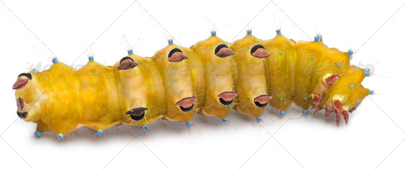 Caterpillar of the Giant Peacock Moth, Saturnia pyri, in front of white background - Stock Photo - Images