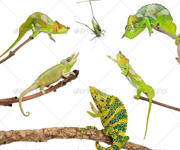 Chameleons reaching for grasshopper in front of white background - Stock Photo - Images