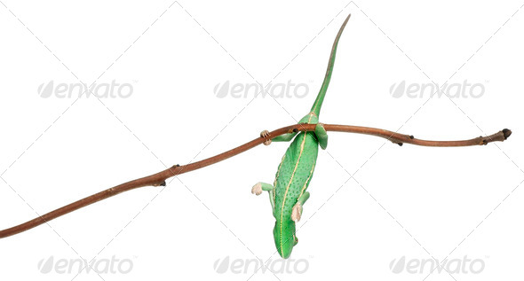 Young veiled chameleon, Chamaeleo calyptratus, hanging onto branch in front of white background - Stock Photo - Images