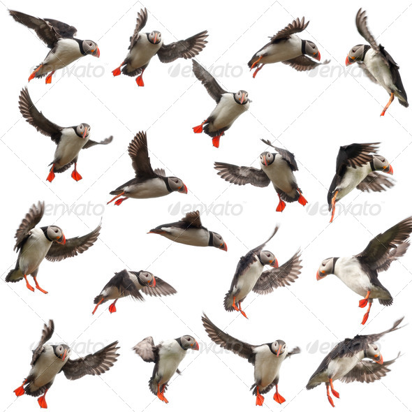 Collection of Atlantic Puffin - Stock Photo - Images