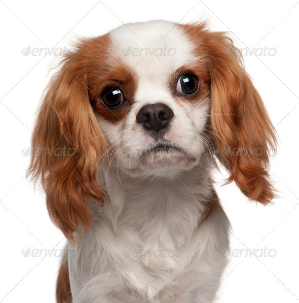 Close-up of Cavalier King Charles Spaniel, 9 months old, in front of white background - Stock Photo - Images