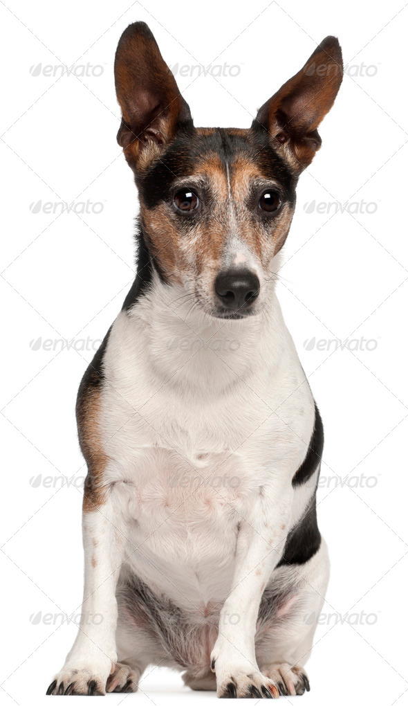 Jack Russell Terrier, 8 years old, sitting in front of white background - Stock Photo - Images