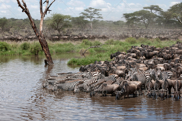 Zebras and Wildebeest at the Serengeti National Park, Tanzania, Africa - Stock Photo - Images
