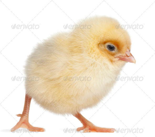 Chick, 2 days old, in front of white background - Stock Photo - Images