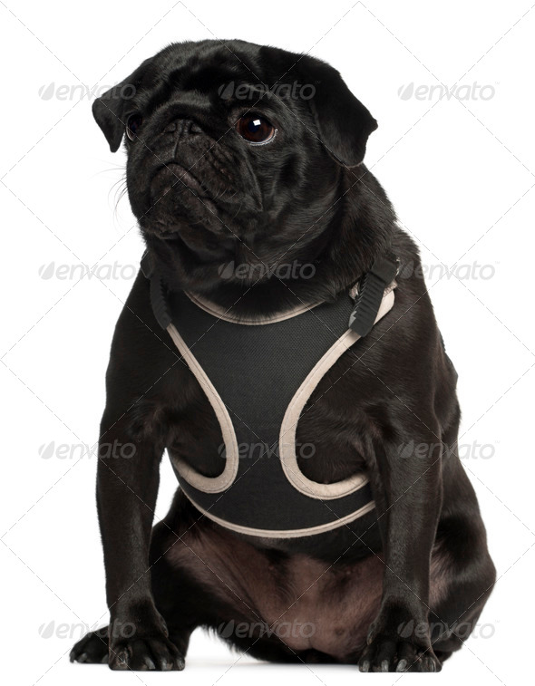 Pug wearing vest, 1 year old, sitting in front of white background - Stock Photo - Images