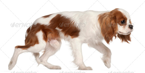 Cavalier King Charles Spaniel, 9 months old, walking in front of white background - Stock Photo - Images