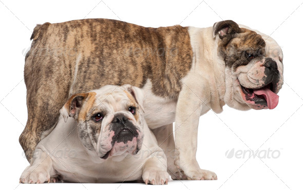 English Bulldog, 4 years old, and English Bulldog, 8 months old, in front of white background - Stock Photo - Images