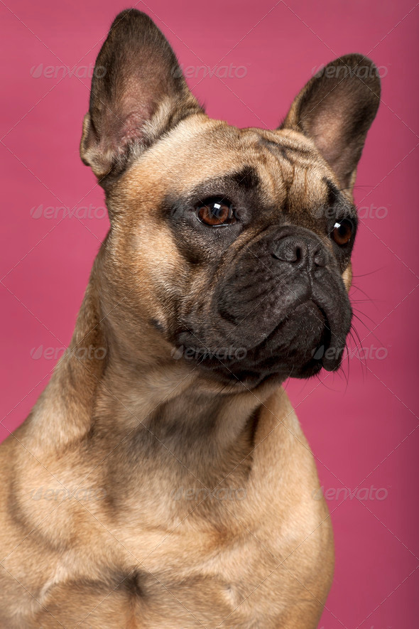 Close-up of French Bulldog, 11 months old, in front of pink background - Stock Photo - Images