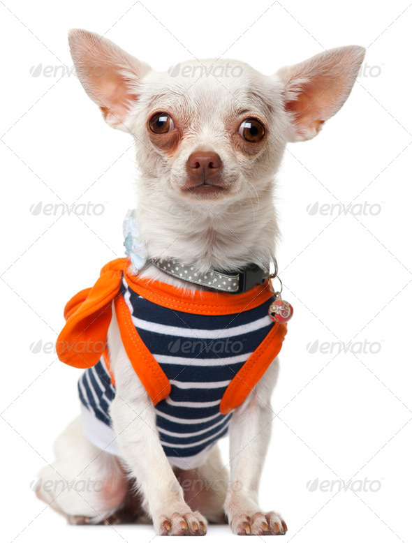 Chihuahua wearing striped shirt, sitting in front of white background - Stock Photo - Images