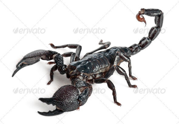 Emperor Scorpion - Stock Photo - Images