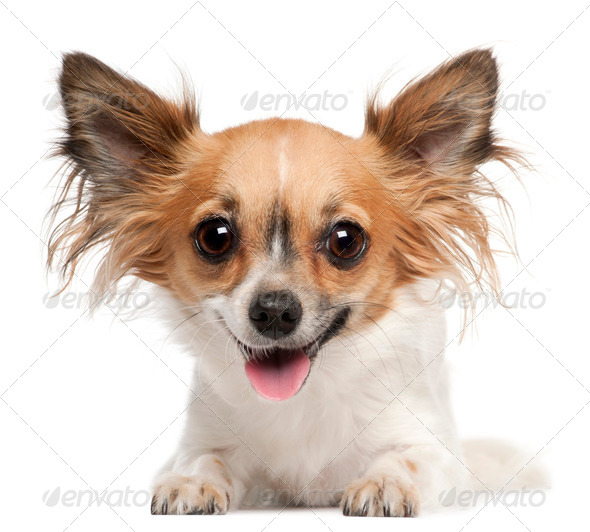 Chihuahua, 2 years old, lying in front of white background - Stock Photo - Images