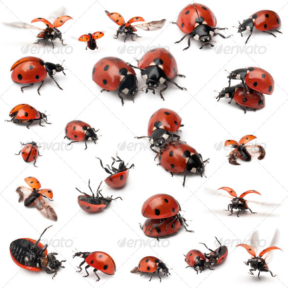 Collection of Seven-spot ladybirds, Coccinella septempunctata, in front of white background - Stock Photo - Images
