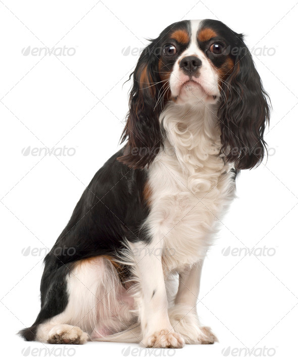 Cavalier King Charles Spaniel, 14 months old, sitting in front of white background - Stock Photo - Images