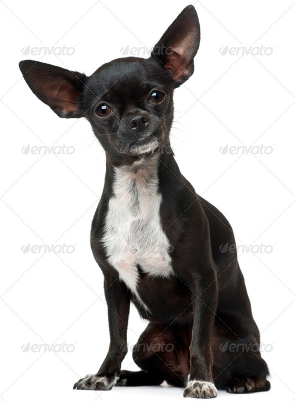 Chihuahua, 18 months old, sitting in front of white background - Stock Photo - Images