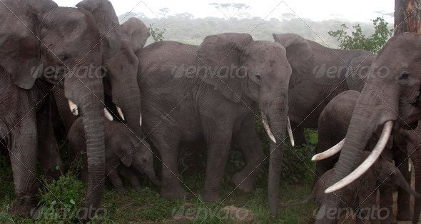 Elephants at the Serengeti National Park, Tanzania, Africa - Stock Photo - Images