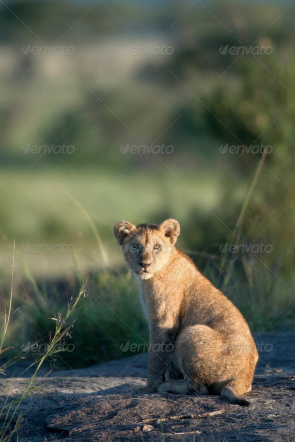 Lion cub at the Serengeti National Park, Tanzania, Africa - Stock Photo - Images