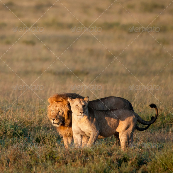 Lion and Lioness at the Serengeti National Park, Tanzania, Africa - Stock Photo - Images