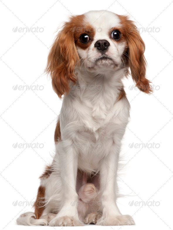 Cavalier King Charles Spaniel, 9 months old, sitting in front of white background - Stock Photo - Images