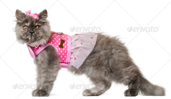 Persian kitten dressed in pink, 3 months old, in front of white background - Stock Photo - Images