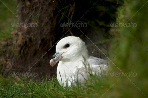 Seagull on Mykines, Faroe Islands - Stock Photo - Images