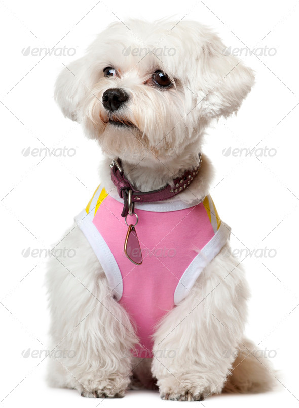 Maltese wearing pink shirt sitting in front of white background - Stock Photo - Images