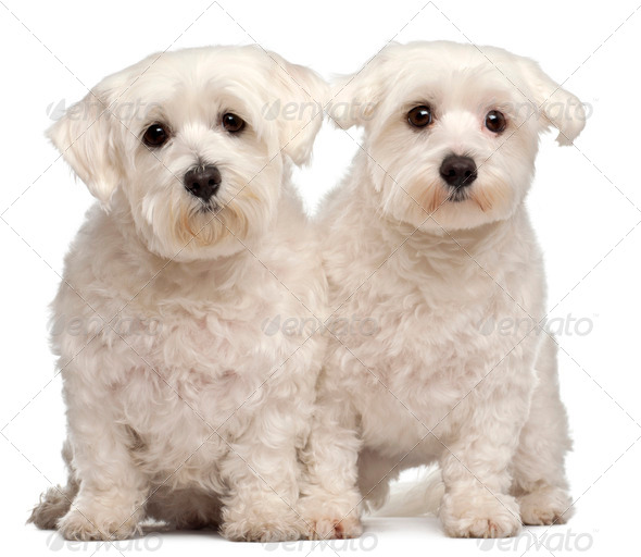 Two Maltese, 2 and 3 years old, sitting in front of white background - Stock Photo - Images