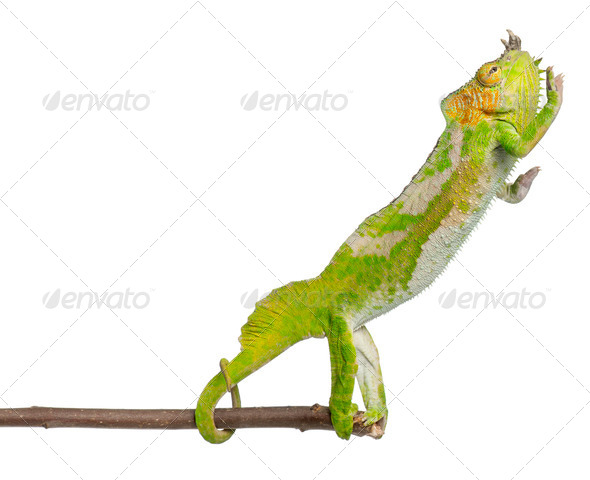 Four-horned Chameleon reaching away from it's branch - Stock Photo - Images