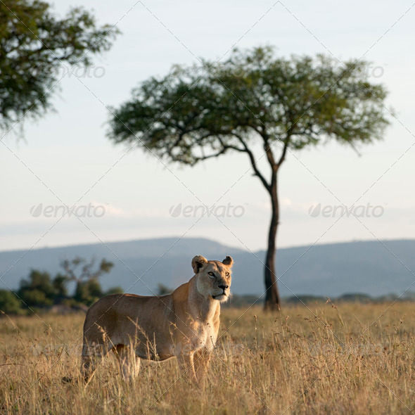 Lioness at the Serengeti National Park, Tanzania, Africa - Stock Photo - Images