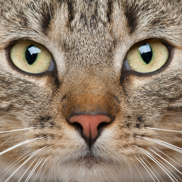 Close-up of European Shorthair cat, 9 months old - Stock Photo - Images