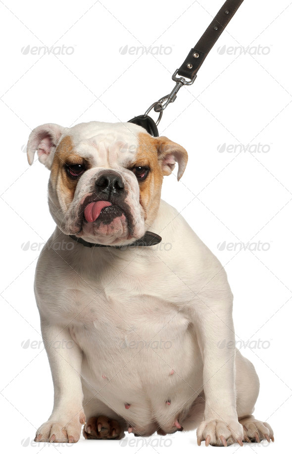 English Bulldog on leash, 1 year old, in front of white background - Stock Photo - Images