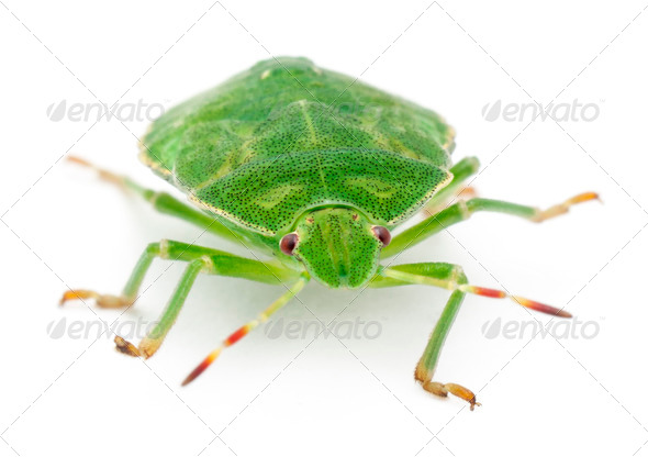 Green shield bug, Palomena prasina, in front of white background - Stock Photo - Images