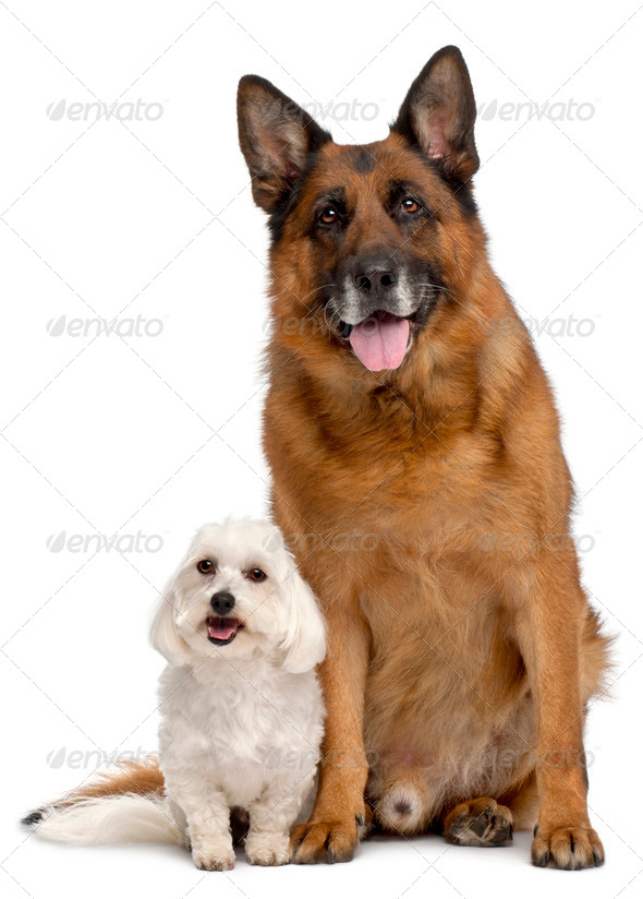 German Shepherd Dog, 11 years old, and Maltese, 3 years old, in front of white background - Stock Photo - Images