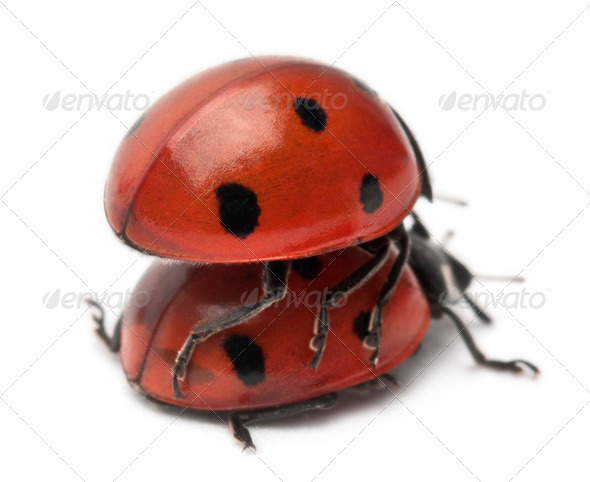 Seven-spot ladybirds mating, Coccinella septempunctata, in front of white background - Stock Photo - Images