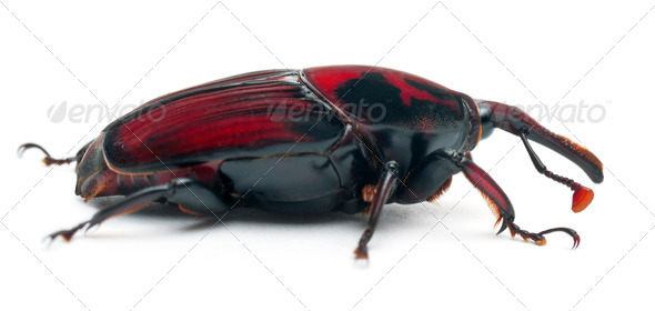 Male Red palm weevil, Rhynchophorus ferrugineus, 3 weeks old, in front of white background - Stock Photo - Images