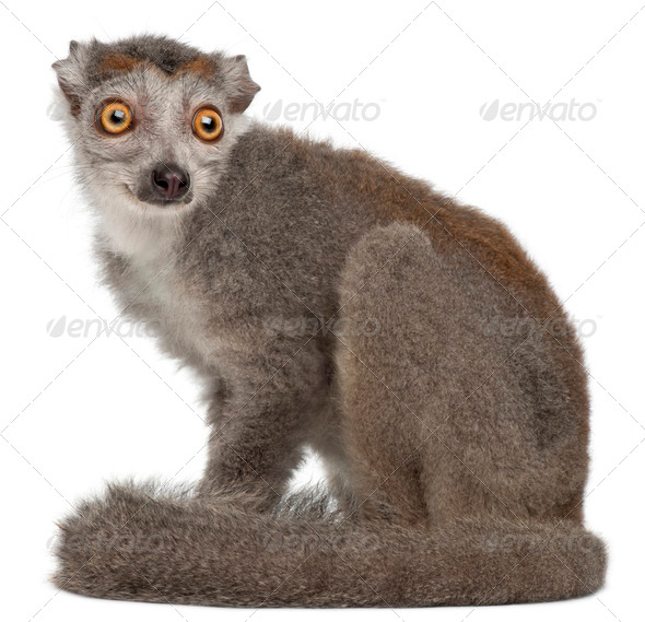 Crowned lemur, Eulemur coronatus, 2 years old, in front of white background - Stock Photo - Images