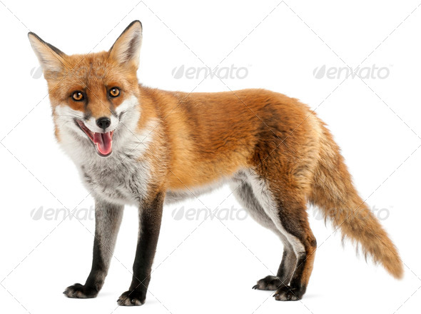 Red Fox, Vulpes vulpes, 4 years old, in front of white background - Stock Photo - Images