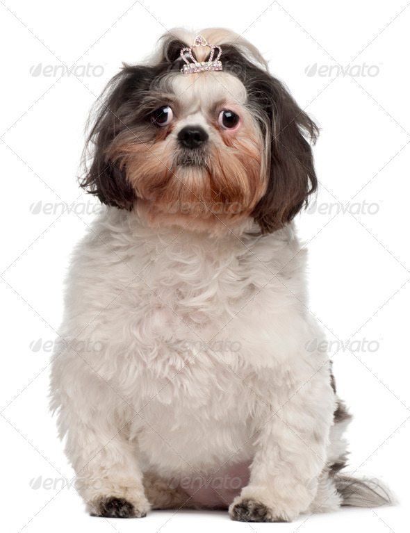 Shih Tzu with crown hair clip, 18 months old, sitting in front of white background - Stock Photo - Images