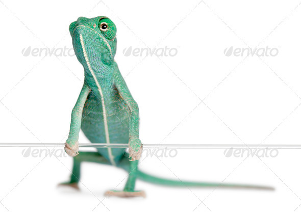 Young veiled chameleon, Chamaeleo calyptratus, holding on a string in front of white background - Stock Photo - Images