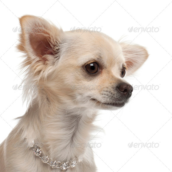 Close-up of Chihuahua, 9 months old, in front of white background - Stock Photo - Images