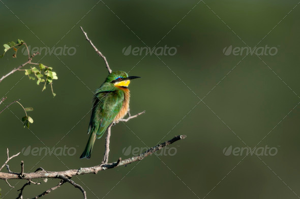 Cinnamon-chested bee-eater, Merops oreobates, at the Serengeti National Park, Tanzania, Africa - Stock Photo - Images
