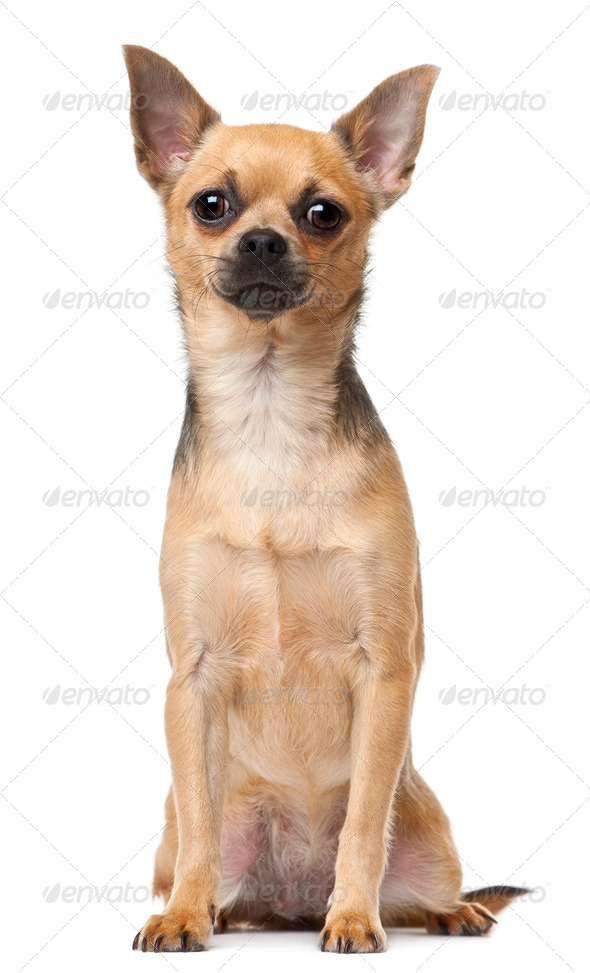 Chihuahua, 12 months old, sitting in front of white background - Stock Photo - Images