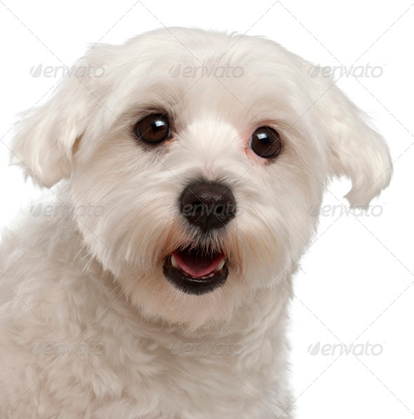 Close-up of Maltese panting, 2 years old, in front of white background - Stock Photo - Images