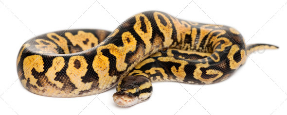 Female Pastel calico Python - Stock Photo - Images
