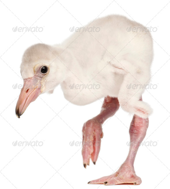 Greater Flamingo, Phoenicopterus roseus, 14 days old, in front of white background - Stock Photo - Images